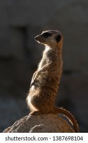 meerkats keep watch on a rock in italy