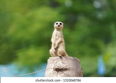 Meerkats play and monitor the environment
