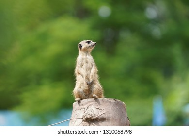 Mongoose Stand Stock Photos Images Photography Shutterstock