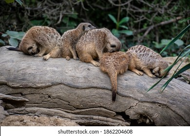 Meerkats sleeping on top of each other