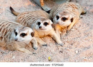 A lot of Meerkats in Thailand zoo