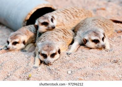 Meerkats in Zoo