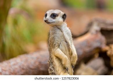 Meerkatt Being the Lookout
