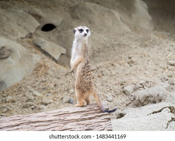 Meerkatt Being the Lookout,African native animal, small carnivore belonging to the mongoose family