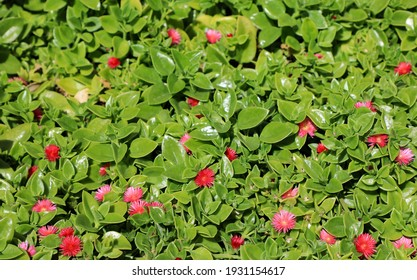 Meet baby sun rose, an easy-care plant that thrives in hot, dry, sunny areas. One of South Florida's very low growing groundcovers, it hugs the ground and blooms most of the year.