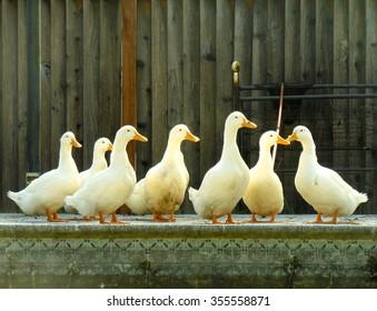 Image result for seven ducks
