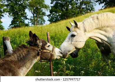 Meeting the neighbors, donkey and horses, Summer evening on the farm, Webster County, West Virginia, USA