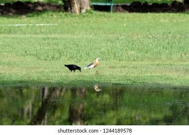 The meeting of non - breeding Javan pond heron and Eastern Jungle Crow on a wetland.