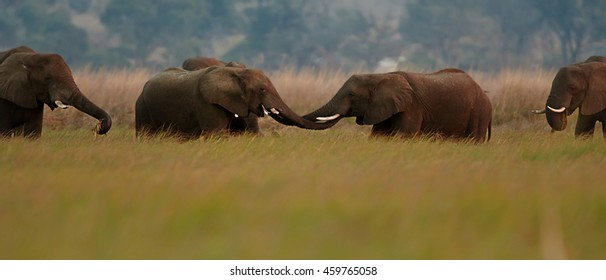 Meeting of two herds of African Bush Elephants,Loxodonta africana in savanna. Chobe river,  Botswana. Panoramic photo.