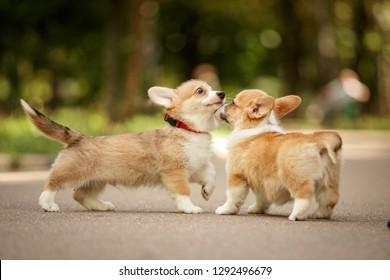 meeting of two pembroke whelsh corgi puppies walking outdoor
