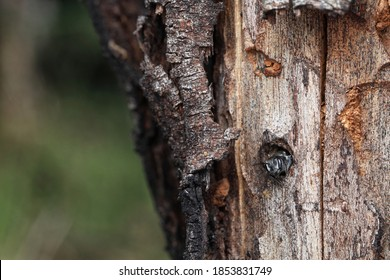 Megachile Leafcutter Bee In Her Nest