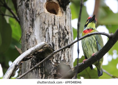 megalaima haemacephala on the tree