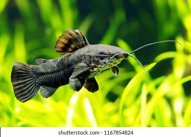 Megalechis thoracata catfish in aquarium.