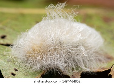Megalopyge crispata, Black-waved Flannel Moth caterpillar that hides its venomous spines under the innocent looking white fluffy hairs, on an Oak leaf in summer