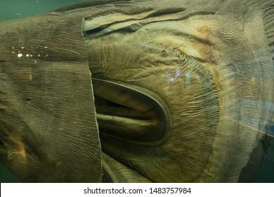 The megamouth shark (Megachasma pelagios) in fish tank.