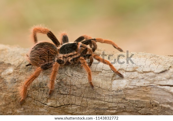 Megaphobema robustum, known as the Colombian giant tarantula or Colombian giant redleg, has a span of 6 to 8 inches. Found in the tropical rainforests of Colombia