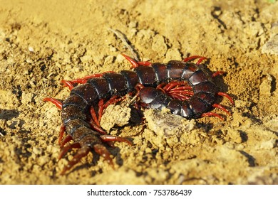 megarian banded centiped on the ground ( Scolopendra cingulata )