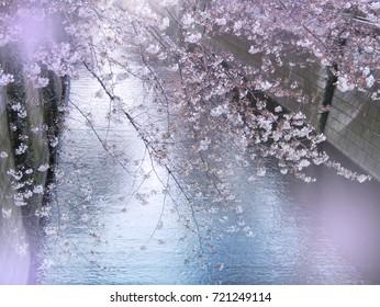 Meguro River Cherry Blossoms, Nakameguro, Tokyo