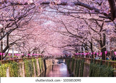 MEGURO, TOKYO / JAPAN - APRIL 4 2017 : Scenery of Meguro River where cherry blossoms are in full bloom. The lanterns of the cherry blossom festival are lined up in rows.