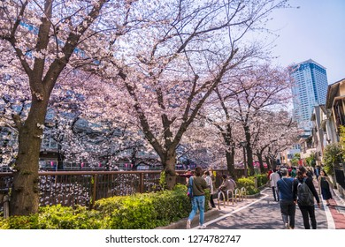 """MEGURO, TOKYO / JAPAN - APRIL 4 2017 : A scenery of cherry blossom trees blooming along the """"Meguro River"""". It is one of the cherry blossom viewing spots in Tokyo, and many people come every year."""