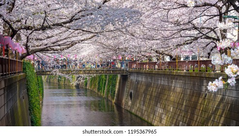 Meguro, Tokyo, Japan - March 25, 2018: Cherry blossom season in Tokyo at Meguro river, Japan.