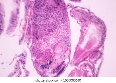 meiosis under the microscope