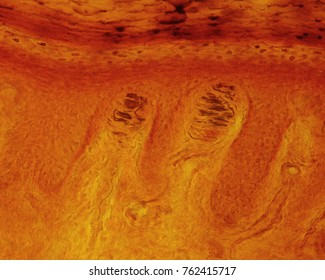 Meissner corpuscles located in the dermal papillae of the glabrous skin of the finger pads. The spiral path of the nerve fiber within the corpuscle is typical of these structures. Silver impregnation