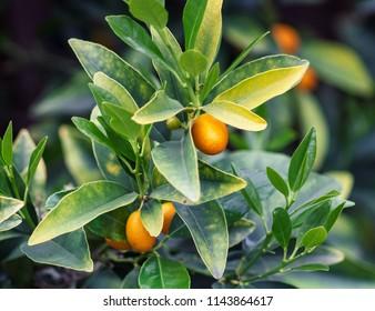 Meiwa Kumquat Growing on Tree
