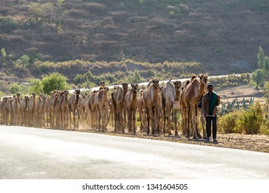 Mekele/Ethiopia-02/06/2019: Caravan of camels on the road of Ethiopia