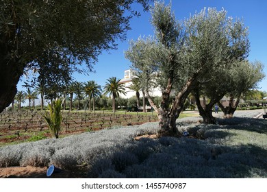 MEKNES, MOROCCO - FEB 12, 2019 - Olive trees and lavender bushes near Meknes, Morocco, Africa