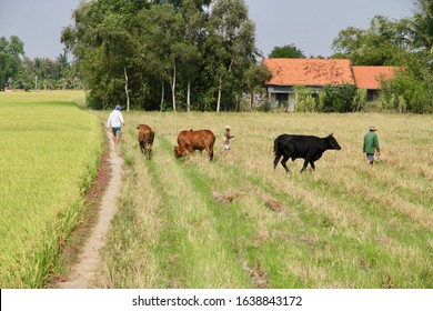 Mekong Delta / Vietnam - March 11, 2018: A farmer and his son herding cattle back to their farm through the fields in the countryside of the Mekong Delta, Vietnam.