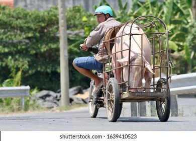 Mekong Delta / Vietnam - March 11, 2018:  A man on a motorbike with a huge pig in a cage loaded onto the back going along a countryside road in the Mekong Delta.
