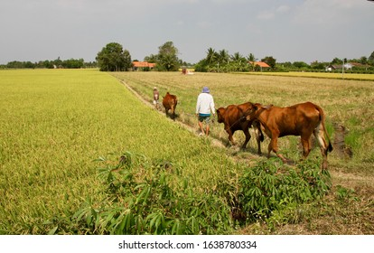 Mekong Delta / Vietnam - March 3, 2018: A farmer and his son leading cattle down a path in green fields in a country area of the Mekong Delta, Vietnam.