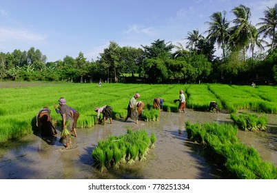 Mekong Delta, Vietnam - Sep 2, 2017. Khmer farmers working on rice field in Mekong Delta, Vietnam. Mekong is by far Vietnam most productive region in agriculture and aquaculture.
