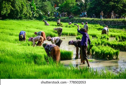 Mekong Delta, Vietnam - Sep 2, 2017. Khmer people working on rice field in Mekong Delta. The Mekong Delta is by far Vietnam most productive region in agriculture and aquaculture.