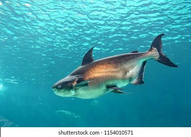 Mekong giant catfish in freshwater aquarium, selective focus.