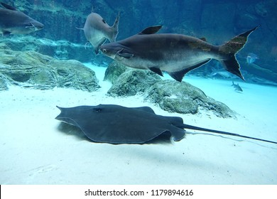 Mekong giant catfish and giant freshwater stingray gliding through sandy water in freshwater aquarium, selective focus.