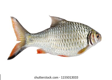 Mekong River Fish Scabbard isolated on white background. This has clipping path.