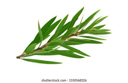 Melaleuca (Tea Tree) Isolated on White Background.