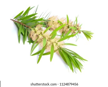 Melaleuca (tea tree) twig with flowers. Isolated on white background.