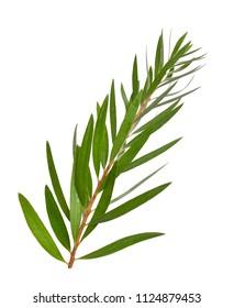 Melaleuca (tea tree) twig. Isolated on white background.