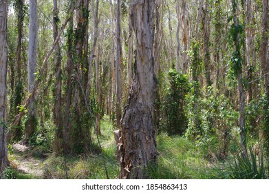 Melaleuca trees at Boondall Wetlands