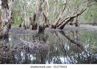 Melaleuca trees Wetland in Rayong Thailland - Shutterstock ID 511774315