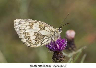 Melanargia galathea, Marbled White butterfly from Lower Saxony, Germany, Europe