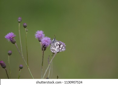 Melanargia galathea on the blossom of a thistle plant