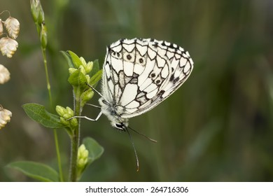 Melanargia galathea,Marbled White butterfly from Lower Saxony,Germany