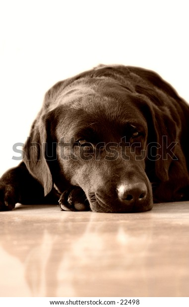 Melancholy black labrador dog.