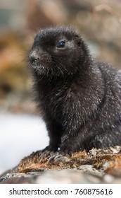 Melanistic Arctic Ground Squirrel Spermophilus parryii at Judas Creek near Whitehorse, Yukon, Canada