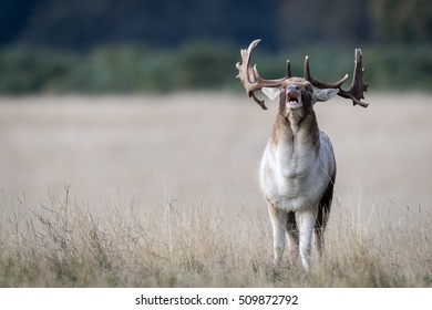 Melanistic fallow deer buck bellowing, standing in a golden grass field with green forest background.