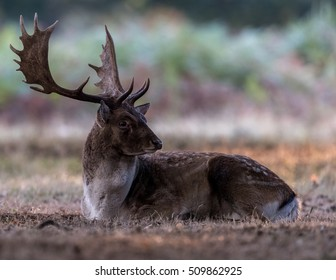 Melanistic fallow deer buck lying down showing impressive antlers with green foliage background.